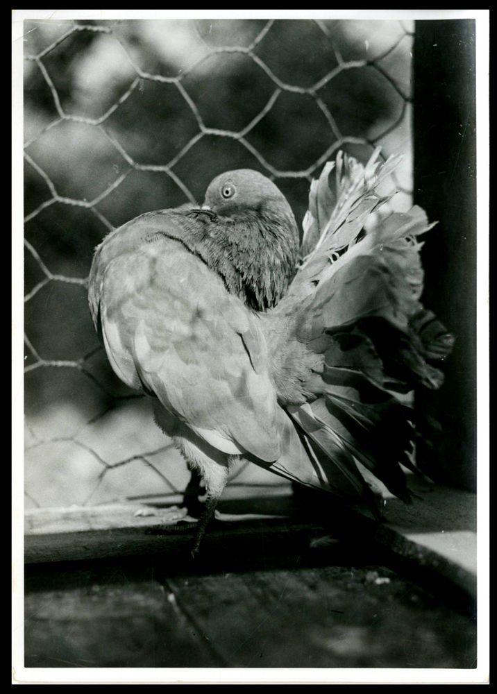 IL BEL COLOMBO PAVONCELLO-ANIMALI-VECCHIA FOTO D EPOCA/OLD PHOTO-ANNI 40 CIRCA