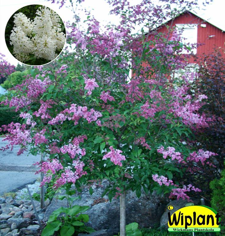 Stamsyrener. Vita, lila eller rosa sorter. Blommar i juni. Höjd: 1,5-4 m.