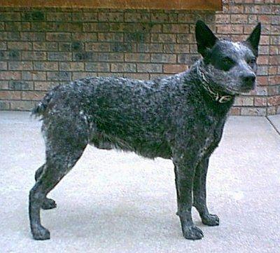 Australian Stumpy Tail Cattle Dogs