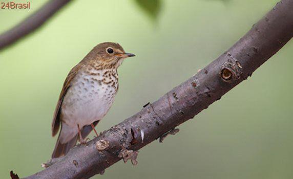 Pássaros monogâmicos estão se separando por causa do desmatamento