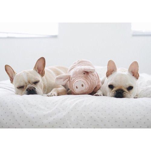 lazy bulldog puppies - photo #47