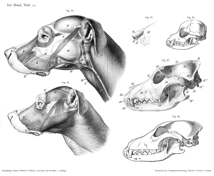 28 best dog´s health images on Pinterest | Anatomy reference, Animal ...