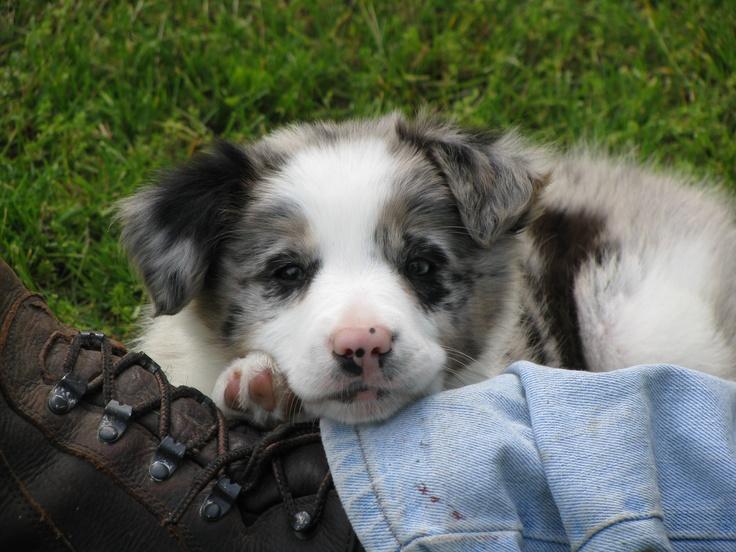 Blue Merle Border Collie puppy...my Sophie Border