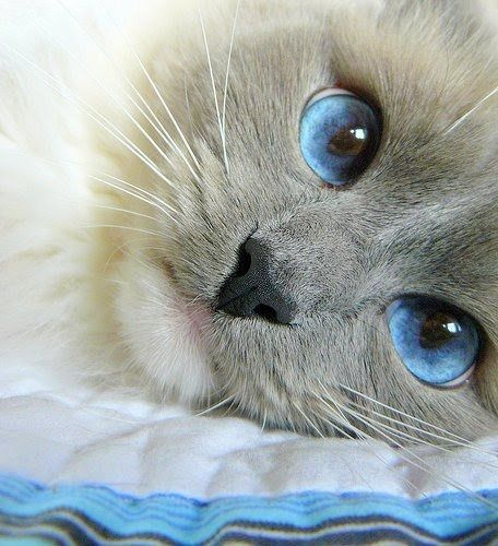 Adorable Cat Gallery Abdullah: kitty with blue eyes