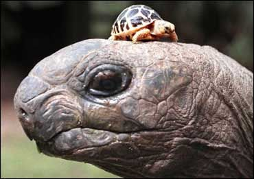 One of the giant tortoises of the Galapagos with a baby star tortoise at Melbourne Zoo.  Picture: Wayne Taylor - theage.com.au