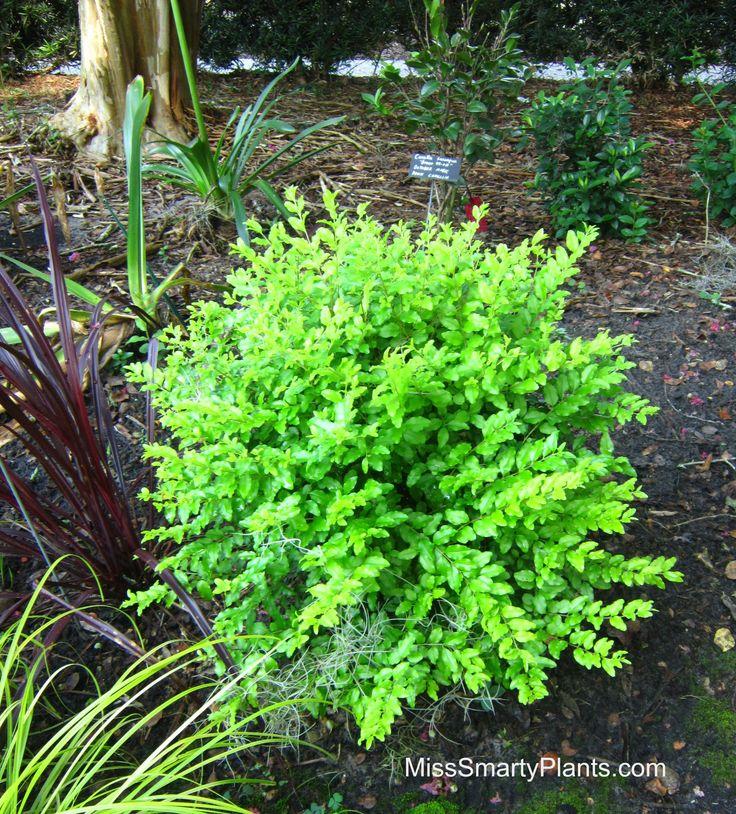 470 best garden shrubs images on pinterest garden for Small flowering shrubs for full sun