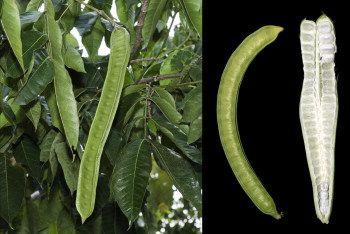 Fruit of Inga rhynchocalyx- icecream bean tree - can purchase from Subtropicas