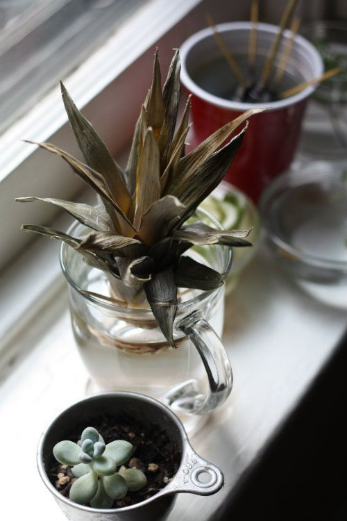 How To: Plant & Grow a Pineapple Top