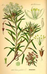 thé du labrador, les feuilles sont utilisées comme herbe ou thé