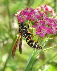 How To Kill Wasps – How To Eliminate Wasps From Your Yard