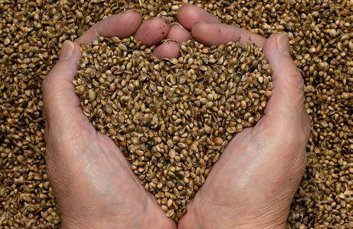 Le proprietà e i benefici dell'olio di canapa