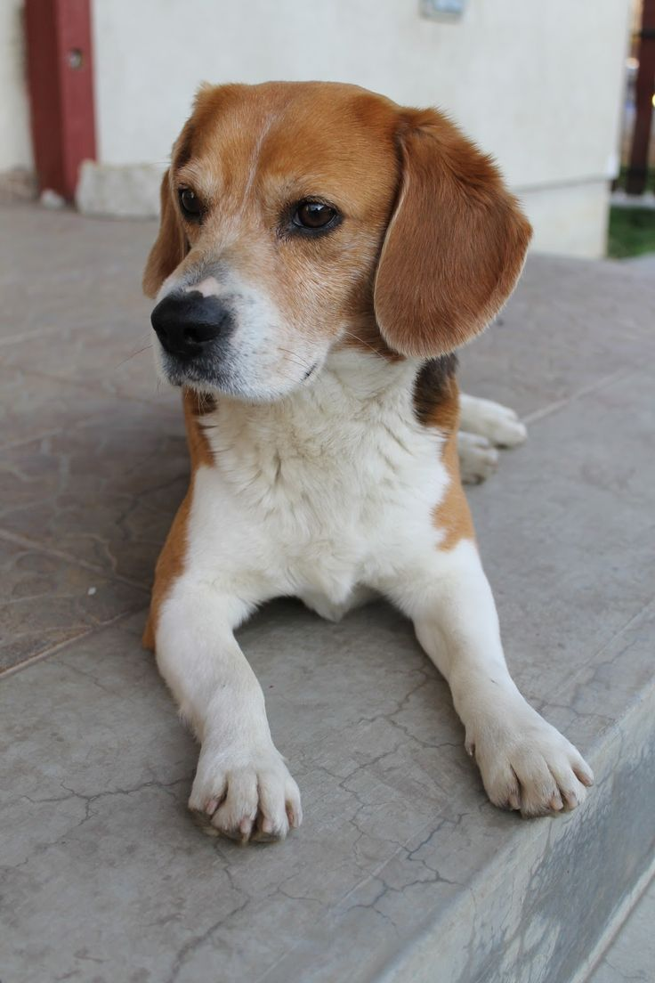 Hubertus a beagle: Hubi
