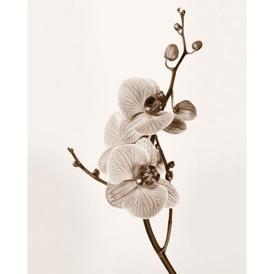 ''Orchids in Sepia Tones'' by Jane Butler Floral Art Print