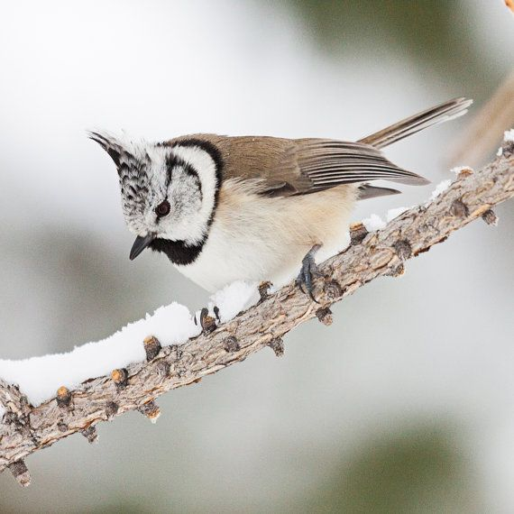 The European crested tit (Lophophanes cristatus) is a passerine bird in the tit family Paridae. It is an easy tit to recognise, for besides its erectile crest, the tip of which is often recurved, its gorget and collar are distinctive.