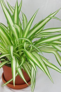 sonnig › Zimmerpflanzen Pflege