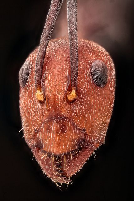 Black ant with a red head covered in fine hairs