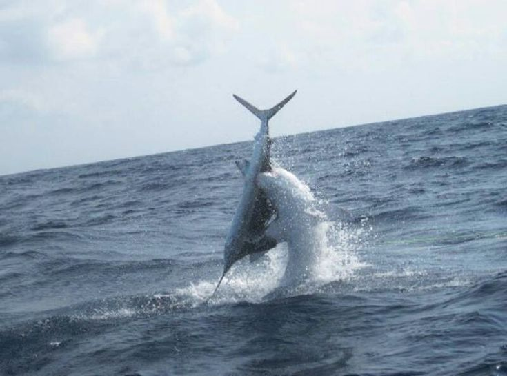 Sailfish vs mako