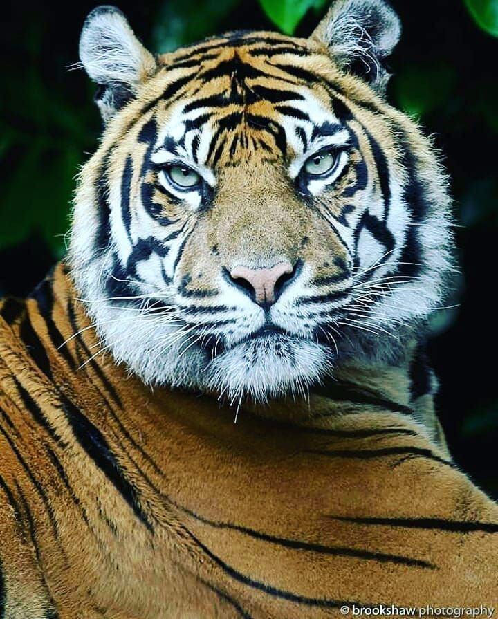 Follow Us If You Love Tigers Follow Lions Tigers1 Lion Wildlife Animal Africa Cats Tiger Animals Cat Lions Animal Wildlife Photography Pet T