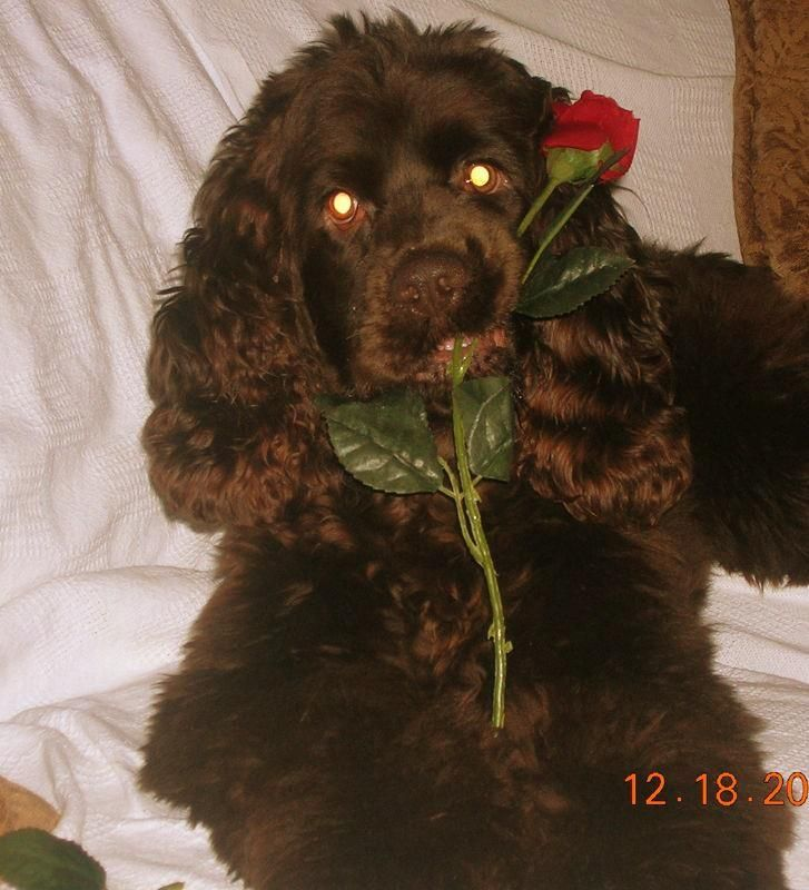 25 Best Chocolate Spaniels Like Hershey Images On Pinterest