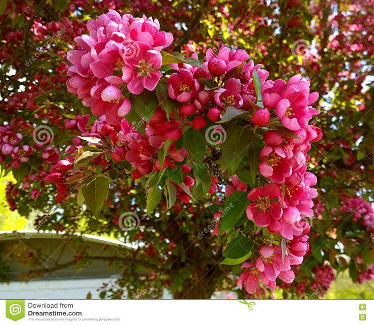 Malus Purpurea Eleyi, Ornamental Apple Tree, Purple Flowers Stock Image - Image of botanical, many: 70435971