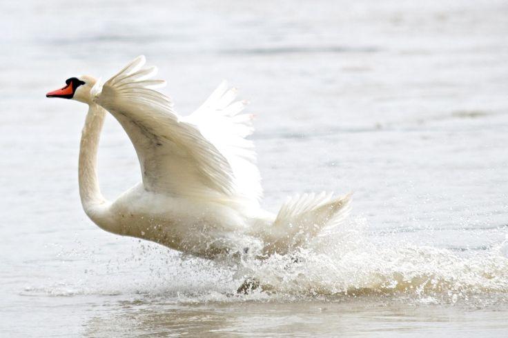 swan+landing+by+David+Sellitsch+on+500px