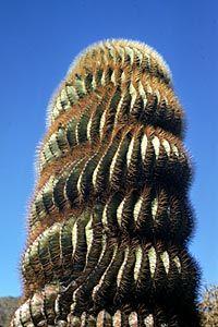 Photo of trunk of Ferocactus diguetii (Barrel Cactus), Catalina Island, by Reid Moran © 2000 SDNHM