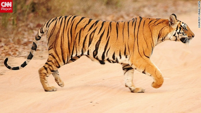 Roar! A Bengal tiger prowls through Bandhavgarh National Park in India. The park has the highest known density of the endangered tigers.