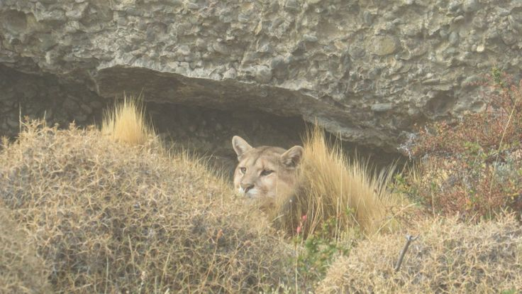 Torres del Paine in May #Puma
