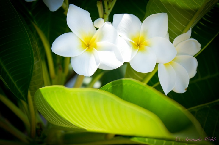Pretty Plumerias http://photographypocketbook.com/flowers-macro-photography-details/