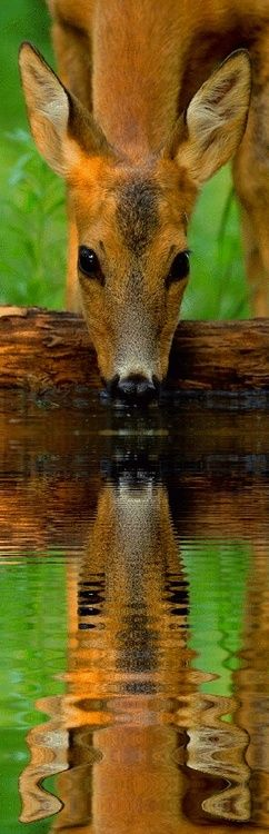 started to pin under animals but when you look at the reflection of the deer drinking in the water...it deserves the photography board. Beautiful Shot.
