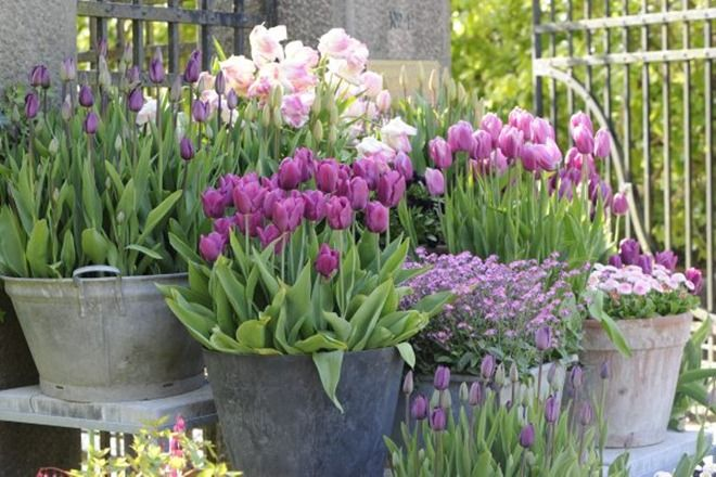 Beautiful Tulips, fill all the pails and containers and put them at different heights...makes a lovely showing.