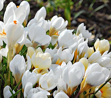 107 best possible plants white images on pinterest white flowers crocus in white shades mightylinksfo