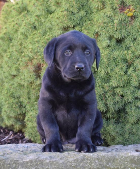 ♥Lab Love♥   #LabradorRetriever #Lab #Labrador #Retriever  #BuckeyePuppies #Puppies #Pups #Pup #Puppy #Funloving #Sweet #PuppyLove #Cute #Cuddly #ForTheLoveOfADog #MansBestFriend #dog #puppy #pets #animals #Dog #Pet #Pets #ChildrenFriendly #puppyandChildren #ChildandPuppy www.BuckeyePuppies.com