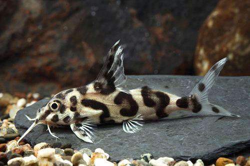 picture of Jaguar Synodontis Catfish Hybrid Reg                                                                 Synodontis decora x Synodontis multipunctatus