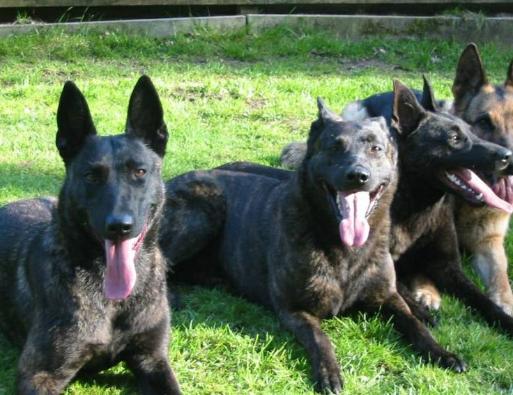 Belgian Malinois vs Dutch Shepherd | Dutch Shepherd Pups available!