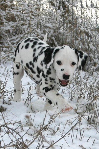 Dalmatian puppy in snow - One of my favorite breeds
