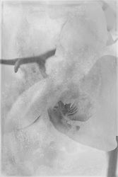 Orchid, Fine Art, Black and White, Photo Art