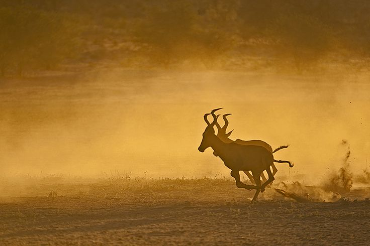 Red Hartebeest running in the Auob river bed in the Kgalagadi Transfrontier Park, Kalahari Desert, South Africa: Photographed by Shane Saunders  (Cape Town, RSA)