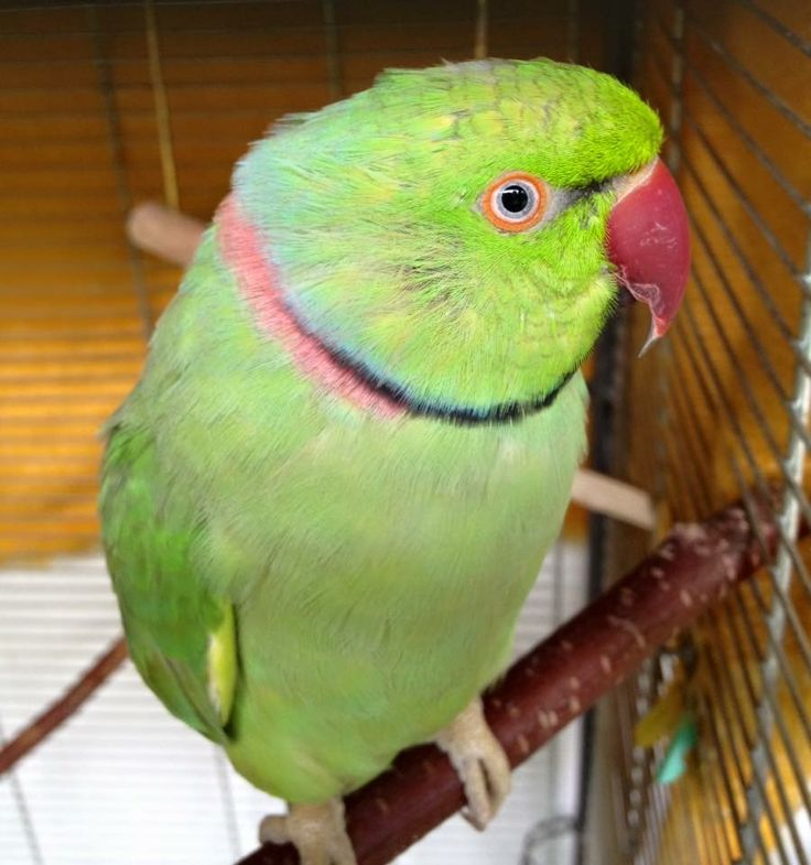 My parrot Alex