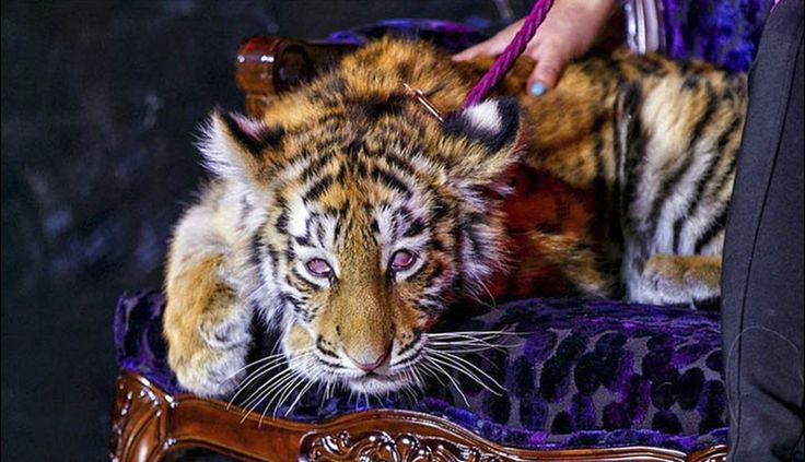 This Amur Tiger baby (endangered species) drugged & dragged around new Russian casino. Should still be with his mum.