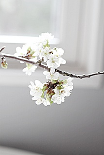:): Cherries Blossoms, Flowers Bloom, Almonds Blossoms, Sweet Spring, Walks, Flowers Whit, Lonely Branches, White Branches, Cherry Blossoms