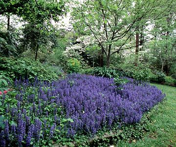 Ajuga Reptans - A topnotch ground cover for shaded gardens, ajuga is as deer-resistant as it is versatile. Plant Growing Conditions: Part to full shade and well-drained soil.