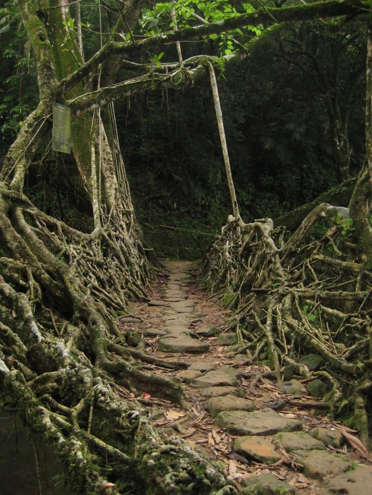 Natural tree bridge in India