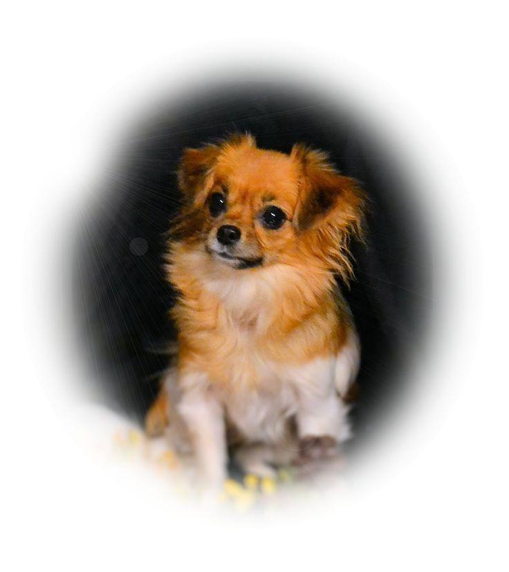 "Baize, a smooth coat girl of ""Dakota Mi-Kis"" www.dakotamikis.com"