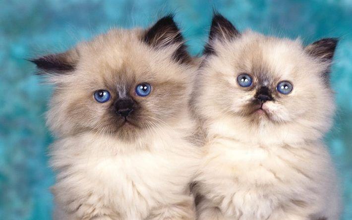 Download wallpapers Birman, 4k, kittens, domestic cat, cute animals, cats, pets, Birman Cats Cat