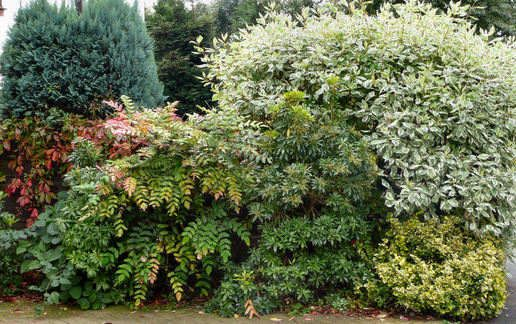 evergreen mixed shrub border garden ideas pinterest. Black Bedroom Furniture Sets. Home Design Ideas