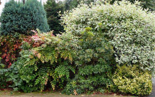 Evergreen mixed shrub border gardening pinterest for Shrubs for garden borders