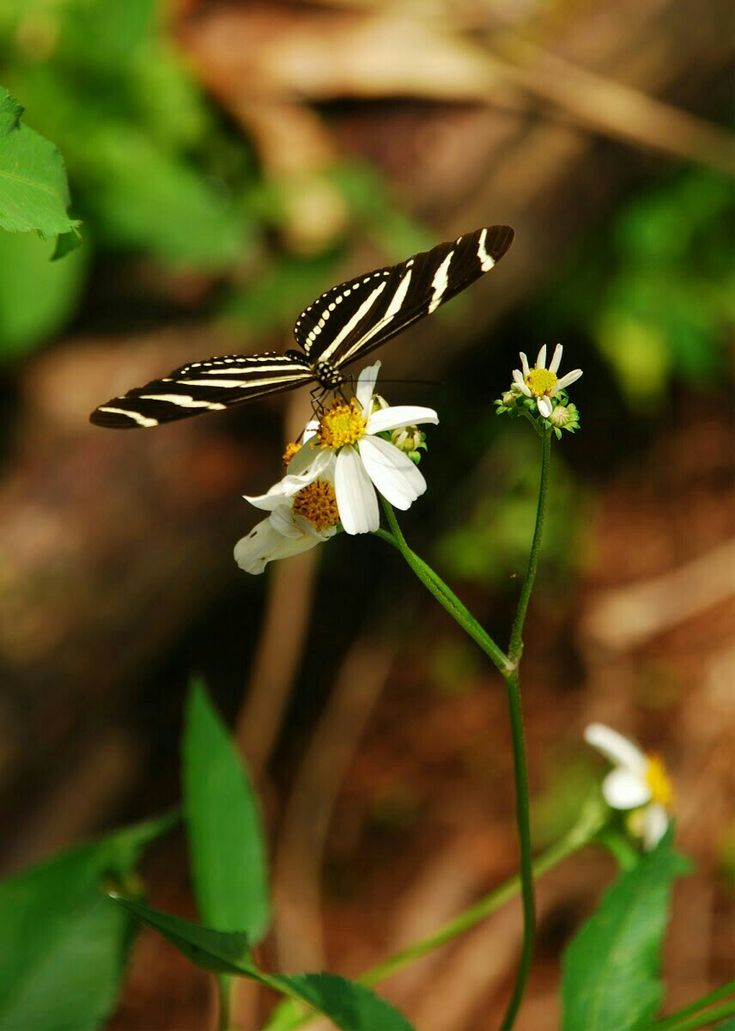 ACROBAT BUTTERFLY