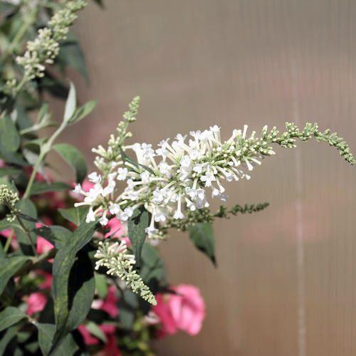 11 best Butterfly Bush - Proven Winners images on Pinterest ...
