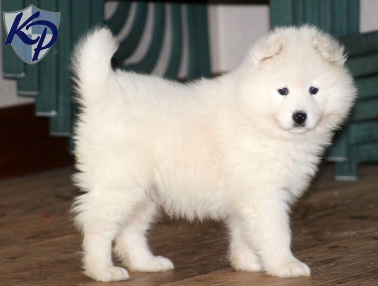 Oakley – Samoyed Puppy www.keystonepuppies.com  #keystonepuppies  #samoyed